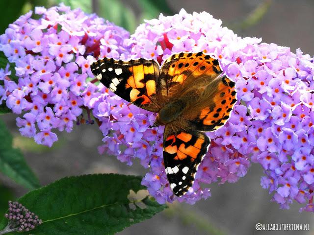 6d5f5 vlinder - MEEST GELEZEN ARTIKELEN VAN DE AFGELOPEN MAAND!